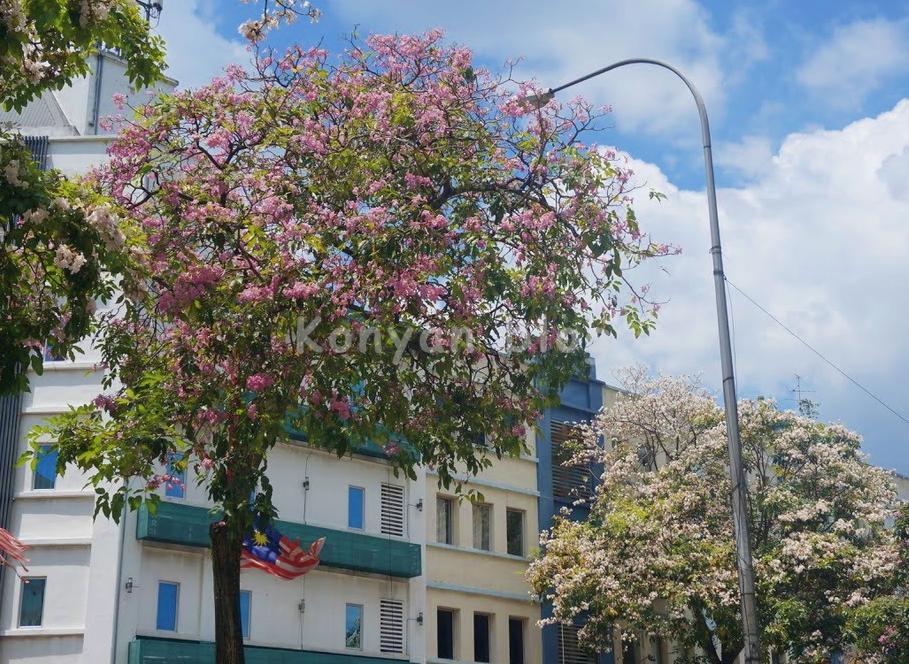 tecoma tree