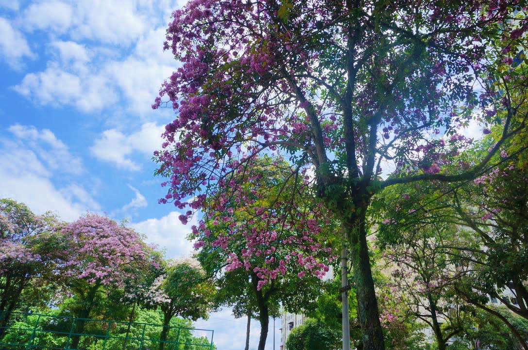 tecoma trees